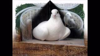 Славка Калчева - Бели Гълъби